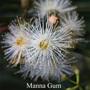 Manna Gum Australian Flower Essences Love Remedies