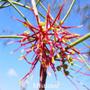 Mistletoe Australian Flower Essences Love Remedies