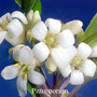 Pittosporum Frangipani Remedies Australian Flower Essences