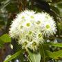 Ribbon Gum Australian flower essences der Love Remedies