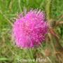 Sensitive Plant Australian Flower Essences Love Remedies