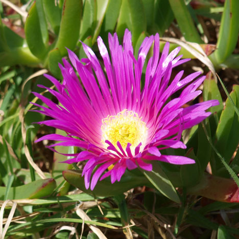 Pigface Australian Flower Essences Love Remedies