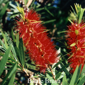 Bottlebrush Australian Flower Essences Love Remedies