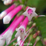 Bush Fuchsia Australian Flower Essences Love Remedies