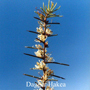 Dagger Hakea Australian Flower Essences Love Remedies