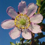 Dog Rose Buschblüten Australian Flower Essences