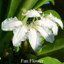 Fan-Flower Australian flower essences Love Remedies