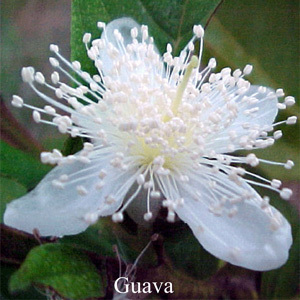 Guava Australian Flower Essences Love Remedies