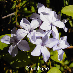 Plumbago Australian Flower Essences Love Remedies