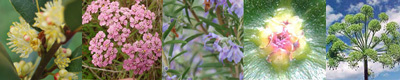 Protection Australian Flower Essences Blends Love Remedies
