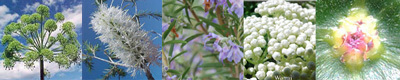 Purification Australian Flower Essences Love Remedies