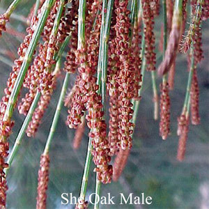 She Oak Male Australian Flower Essences Love Remedies