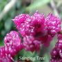 Stinging Tree Australian flower essences Love Remedies