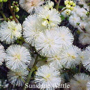 Sunshine Wattle Australian Flower Essences Love Remedies