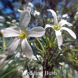 Wedding Bush Australian Flower Essences